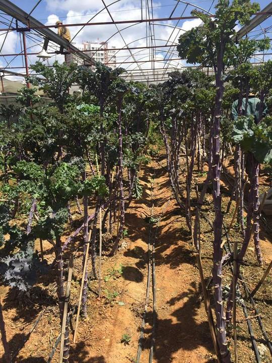 Loại rau cải khổng lồ này đang được trồng tại một số nhà vườn ở Đà Lạt