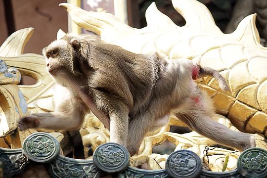 Khỉ đầu đàn là một con khỉ to lớn và hung dữ. Khi có khỉ lạ xuất hiện khỉ đầu đàn sẽ huy động cả bầy đánh đuổi. Lợi dụng điều này, nhiều kẻ xấu mang khỉ nhà dụ đàn khỉ ra khỏi chùa để dễ bắt trộm.
