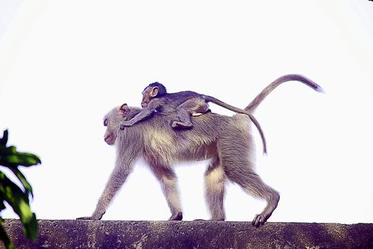 Cơ quan kiểm lâm Bình Dương đã có kế hoạch di dời đàn khỉ này để tránh tình trạng bị săn bắt bừa bãi nhưng không khả thi bởi chúng đã quen với môi trường tại chùa cũng như dạn dĩ khi tiếp xúc với con người.