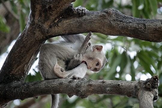 Các chú khỉ con nhảy nhót, nghịch ngợm đu người trên những tán cây.