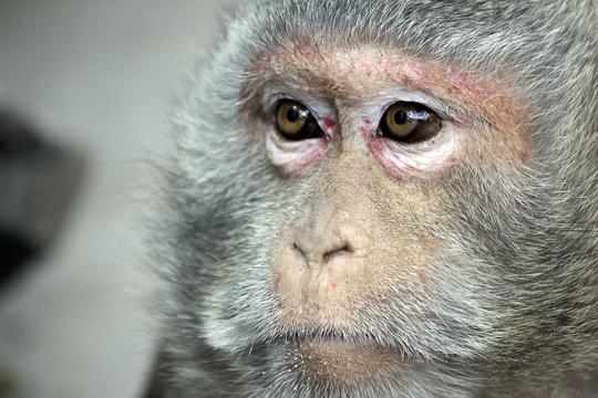 Điều kỳ lạ là trong đàn khỉ có tới hai loài khỉ khác nhau, nhưng chúng lại sinh sống hòa thuận với nhau. Đó là loài khỉ mặt đỏ...