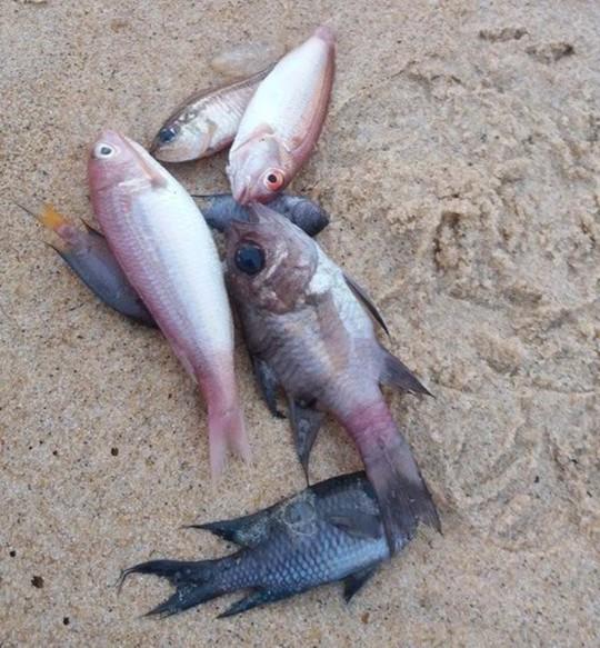 Cá chết la liệt khắp các bờ biển nhiều tỉnh miền trung