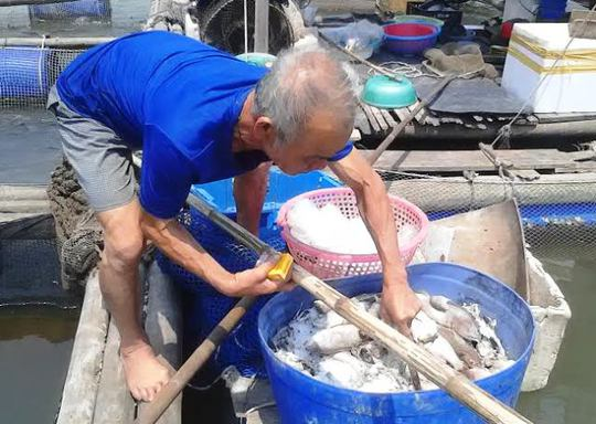 Người nuôi cá nơi đây như ngồi trên đống lửa trước hiện tượng cá chết bất thường những ngày qua