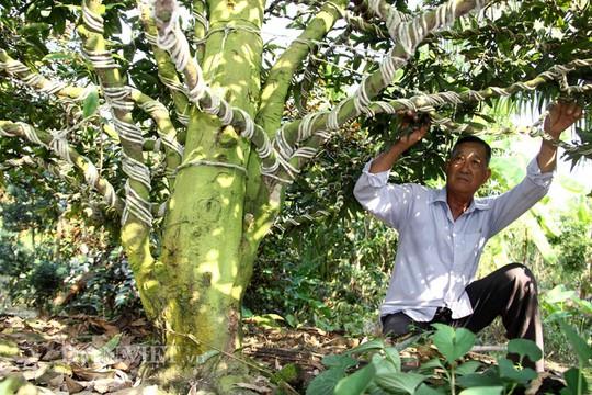Mai của ông Triệu Văn Ẩn có gốc to, da sần sùi – đặc điểm thu hút dân sành về mai