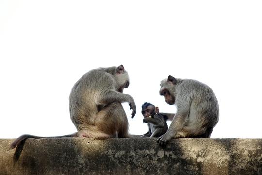 Những kẻ xấu thường săn bắt cả khỉ con lẫn khỉ mẹ.