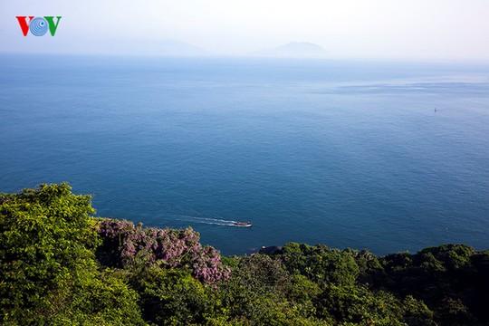 Du khách có dịp ngắm vịnh Đà Nẵng có thể thấy tím ngát màu hoa Thàn Mát.