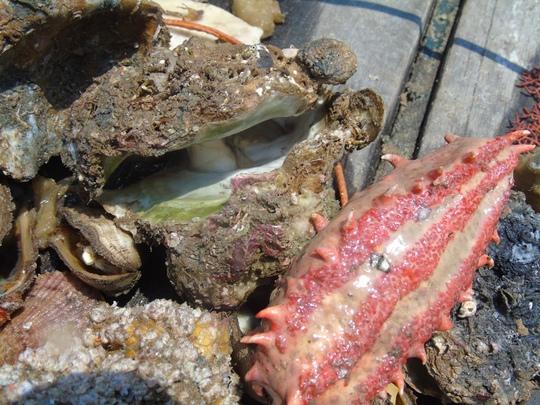 Những rặng san hô, hàng chục loại hải sản quý hiếm như hải sâm, vẹm, sò, hàu chết dưới đáy biển được vớt lên