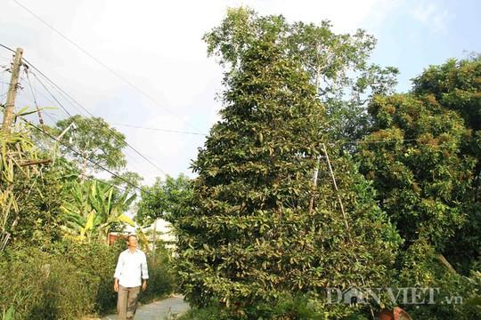Ông Tiêu Hồng Minh cho biết, ông có 2 cây mai có chiều cao trên 5,5m, tán rộng đều, thân hình cân đối