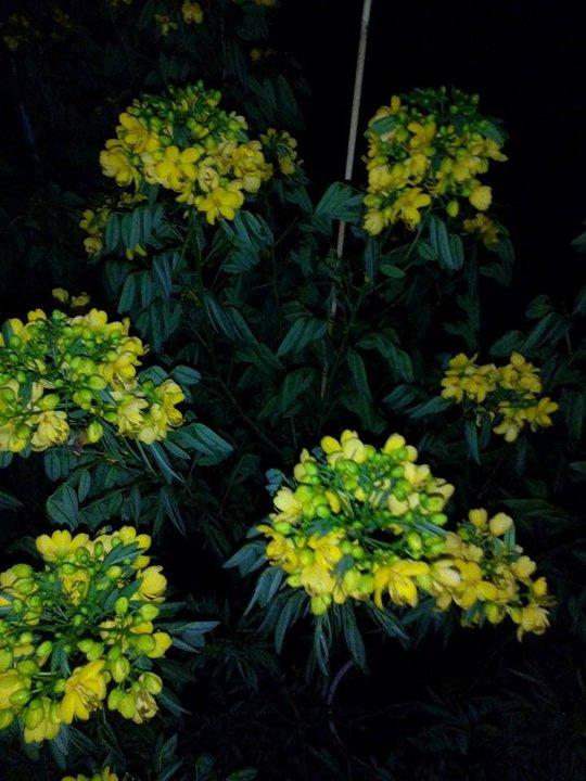 Ban đêm, hoa trúc mai có khả năng phát sáng trông rất đẹp mắt