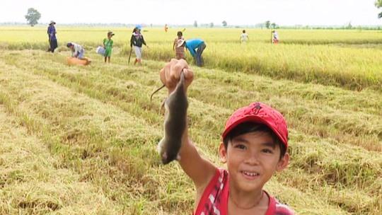 Vào những ngày hè, trẻ em cũng theo người lớn ra đồng ví cù bắt chuột để cải thiện thêm thu nhập