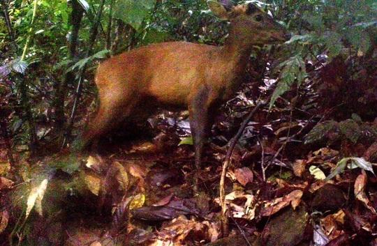 Một trong 2 cá thể mang lớn được tìm thấy tại Khu bảo tồn thiên nhiên Pù Hu - Thanh Hóa. Ảnh khu bảo tồn cung cấp