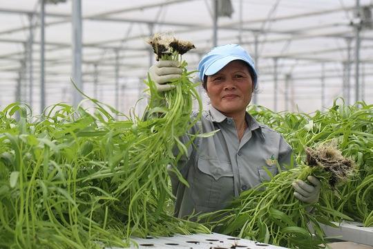 """Thu hoạch rau của nông dân VinEco chỉ đơn giản là việc """"nhấc cây"""" ra khỏi đường ống thủy canh"""