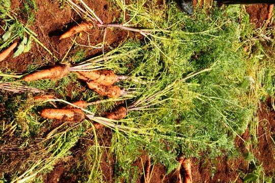 Cà rốt bị nhổ bỏ vì quá già không thể bán làm thực phẩm. Ảnh: Thạch Thảo