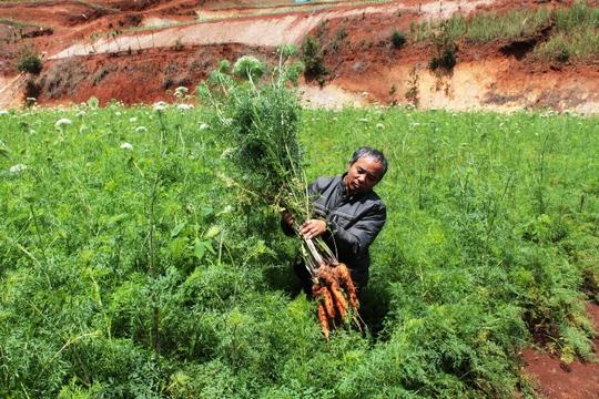Cà rốt để già ngoài đồng, ra hoa, củ không thể dùng làm thực phẩm. Ảnh: Thạch Thảo