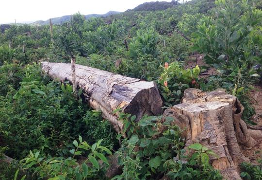 Những cánh rừng đầu nguồn Vĩnh Ninh bị tàn phá