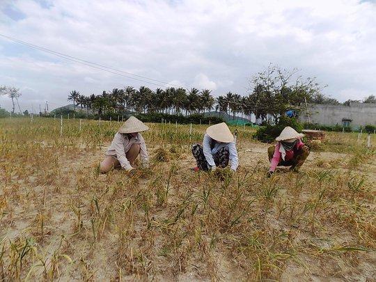 Ruộng tỏi cháy khô vì hạn hán