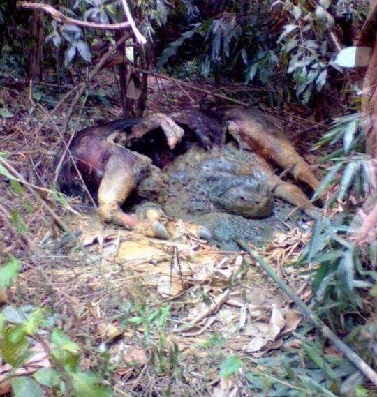 Xác bò nghi là bò tót chết phân hủy trong rừng - Ảnh: Thành Tiến