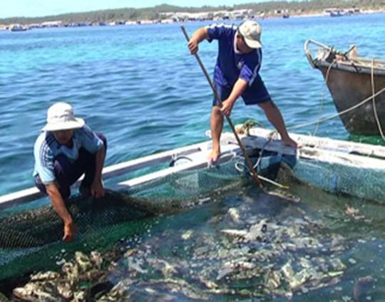 Cá ở Phú Quý chết trắng bè
