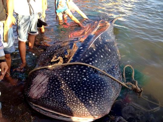 """Cá nhám voi trong """"sách đỏ"""" dạt vào bờ biển Khánh Hòa"""