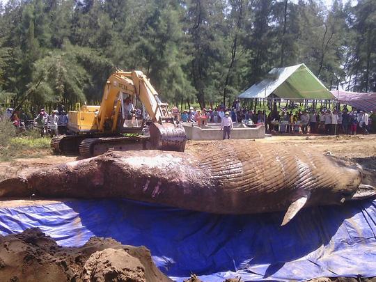 Xác cá voi được máy xúc đưa xuống hố