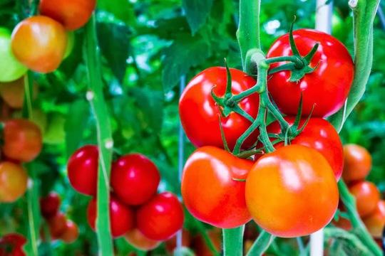 Bắt tay trồng ngay 5 loại quả thông dụng cho bữa cơm gia đình