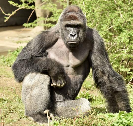 Harambe, con khỉ đột lưng bạc 17 tuổi. Ảnh: Sở thú Cincinnati