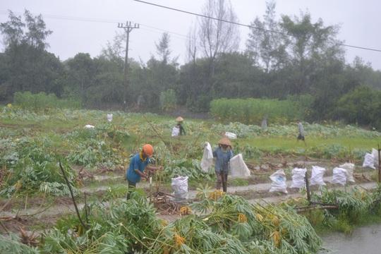 Người dân ở tỉnh Quảng Nam đội mưa thu hoạch sắn