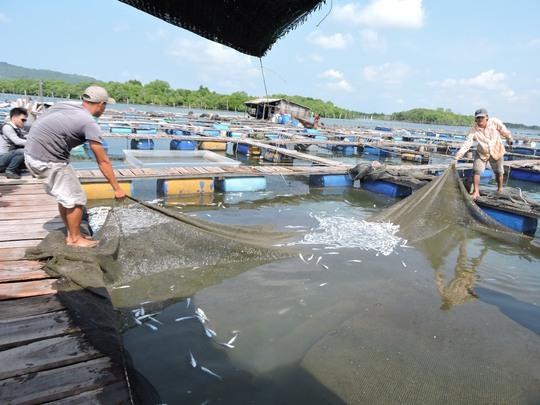 Trong tháng 9-2015, cá nuôi lồng ở Long Sơn bè đồng loạt chết