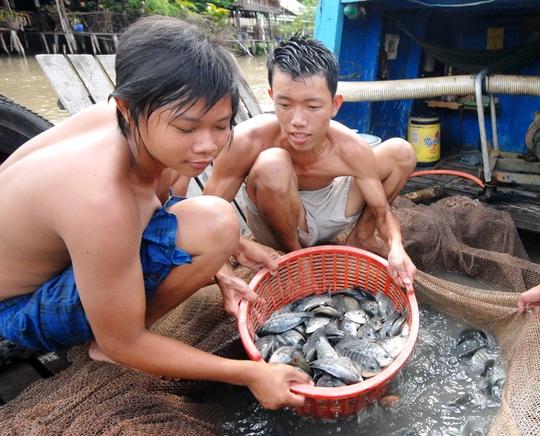 Không có chuyện nuôi cá rô phi ở ĐBSCL bằng thuốc trừ sâu Ảnh: Ngọc Trinh