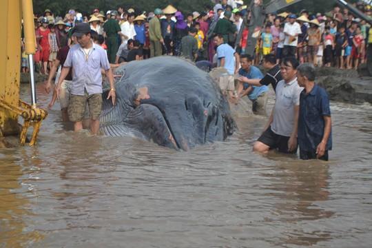 Người dân nỗ lực giải cứu cá voi mắc cạn - Ảnh: Đức Chung