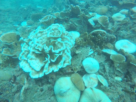 hình ảnh về San hô Phiến và Nấm