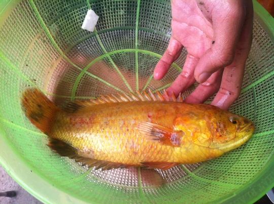 Cá rô có màu vàng lạ được một người hiếu kỳ trả giá mua lại 10 triệu đồng