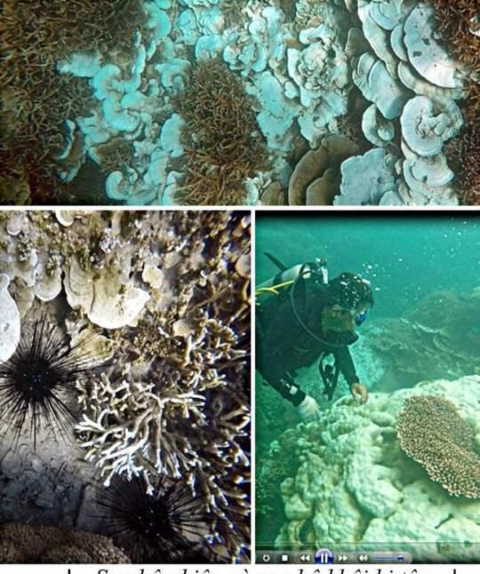 San hô phiến và San hô khối bị tẩy trắng tại khu vực Hòn Cau, Đầm tre