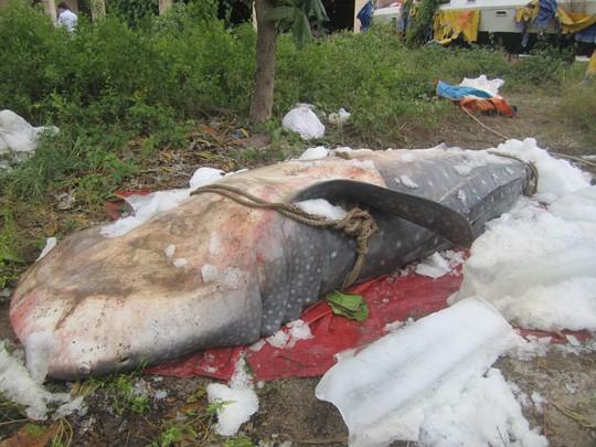 Cá Nhám Voi được người dân giao cho Viện Hải dương học- ảnh C.T