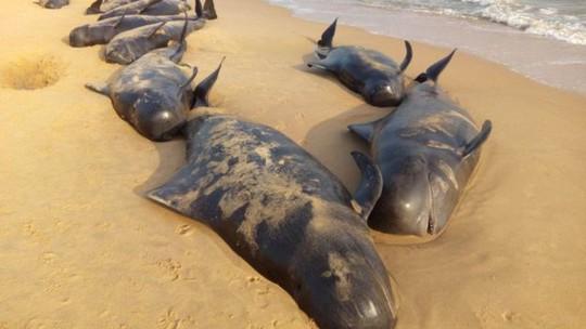 Các nhà khoa học cho rằng những con cá voi này trôi dạt vào bờ biển TP Tuticorin sau khi đã bơi hàng ngàn km từ Thái Bình Dương. Ảnh: BBC