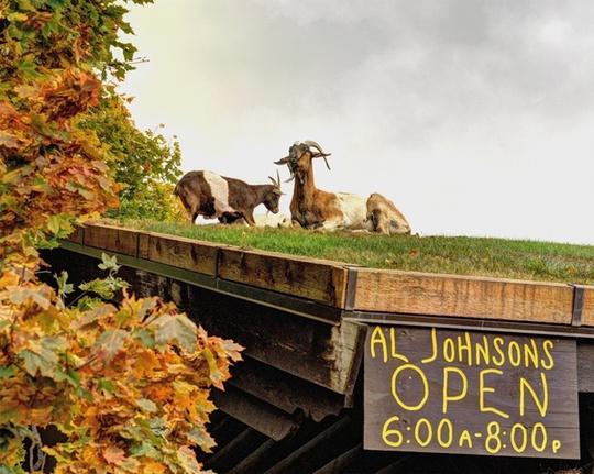 Nhà hàng Al Johnson ở Wisconsin (Mỹ) đã mở cửa được hàng chục năm. Quán phục vụ các món Thụy Điển và có thiết kế mang phong cách Bắc Âu với mái trồng cỏ. Khi nhà hàng mới khai trương, một người bạn đem một chú dê tới thả trên mái cho vui. Sau đó, chủ quán quyết định nuôi thêm một vài chú dê nữa để tạo điểm thu hút cho quán.