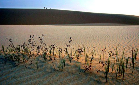 Sức sống trên đồi cát