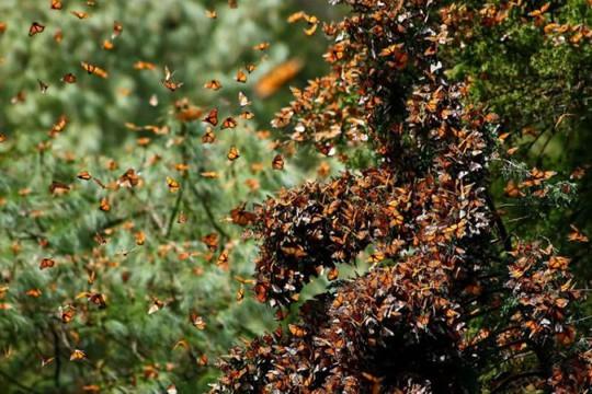 Việc di cư của loài bướm Monarch là một trong những bí ẩn kỳ lạ nhất của tự nhiên - Ảnh: Odditycentral