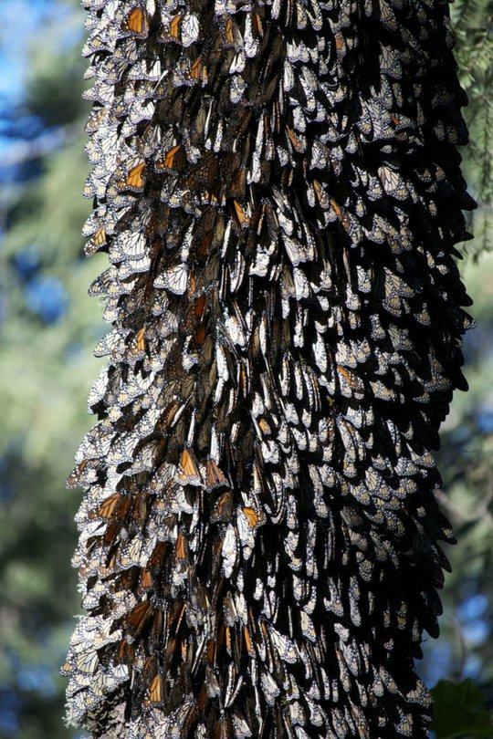 Khu rừng bướm này sẽ trở nên vô cùng ấn tượng vào khoảng tháng 2 và 3 - Ảnh: Odditycentral