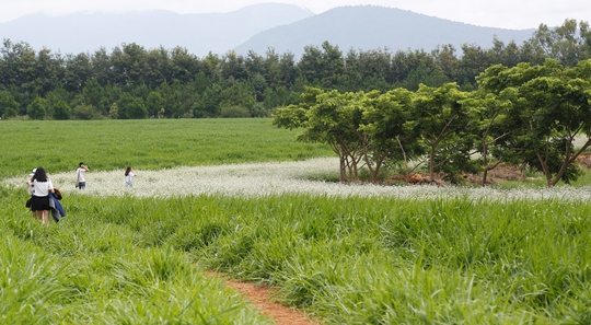 Du khách sẽ ngất ngây trước vẻ đẹp đầy quyến rũ của cánh đồng hoa tam giác mạch nở sớm ở Lâm Đồng.