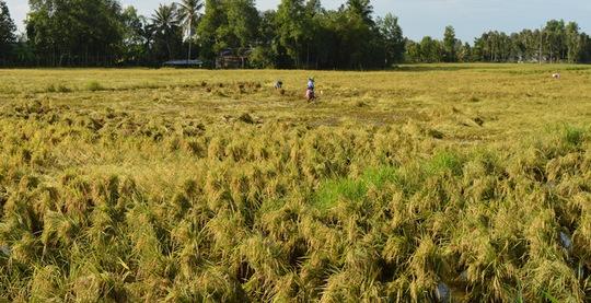 Nông dân Kiên Giang dùng cách bó nhiều bụi lúa lại với nhau cho hạt lúa không thấm nước. Ảnh: Thốt Nốt