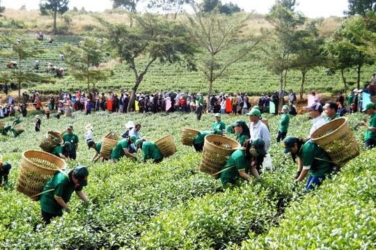 Ngành trà Lâm Đồng đang gặp rất nhiều khó khăn đầu ra cho sản phẩm.