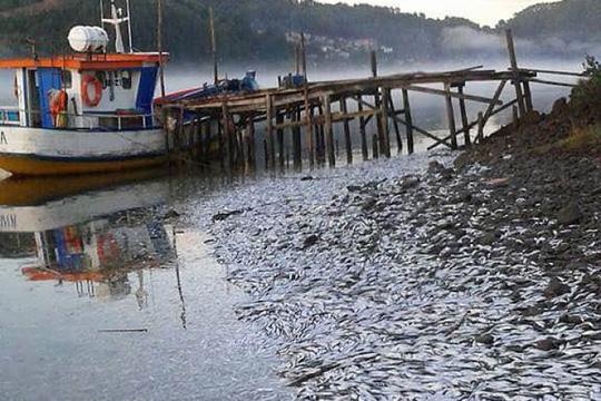 Khoảng 8.000 tấn cá mòi chết trôi tới cửa sông Queule trong một tháng qua Ảnh: FACEBOOK