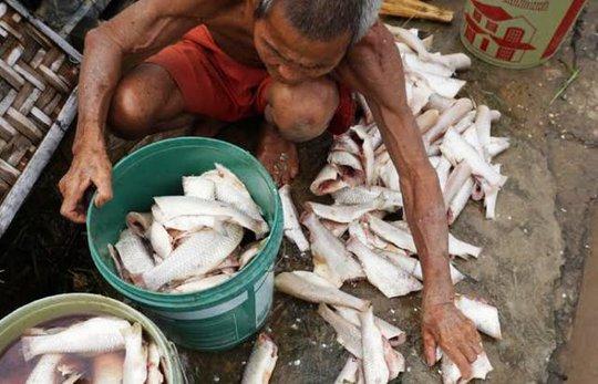 Cá chết bất thường, người dân tiếc công tiếc của đã làm thịt để muối mắm hoặc phơi khô để dùng