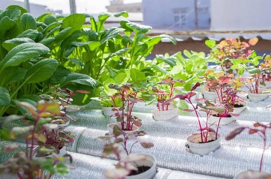 30 triệu làm vườn rau thuỷ canh trên mái ngói ở Sài Gòn