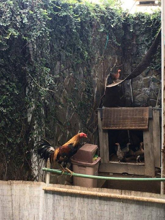 Chiếc chuồng gà nhỏ của cô để gà có thể tự về chuồng khi trời tối.
