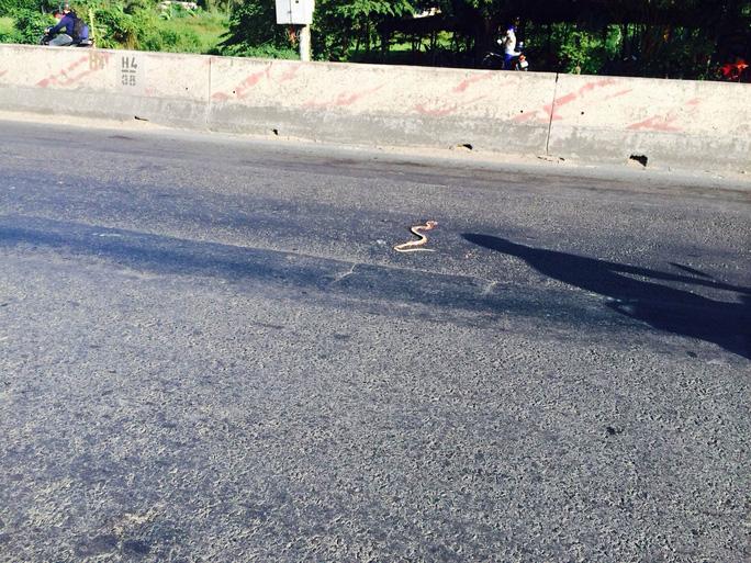 Con rắn tiếp tục bò ra dãy phân cách và bị một xe ô tô cán chết.