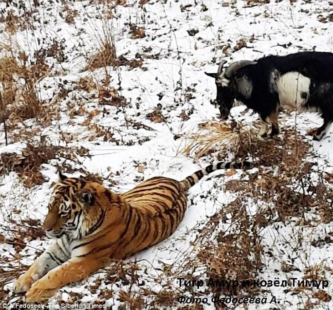 Tranh thủ lúc con hổ nghỉ ngơi, Timur thong thả gặm cỏ. Ảnh: The Siberian Times