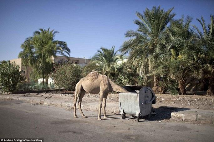 Một con lạc đà bị bỏ rơi đang tìm kiếm thức ăn trong thùng rác ở Nuweiba