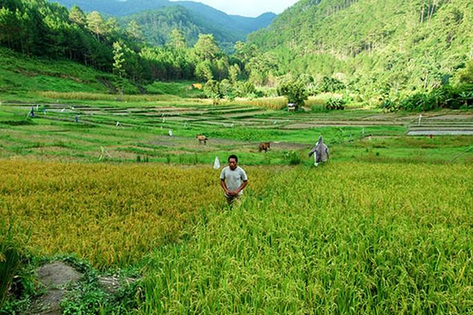 Một góc cánh đồng lúa trĩu hạt ở làng Dơng Iar Jiêng